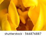 Yellow Tulip Macro