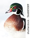 Small photo of Wood duck (Aix sponsa) closeup in winter