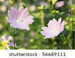 A Beautiful Lavatera Flowers  ...
