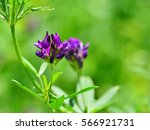 Small photo of Isolated alfalfa flower. Alfalfa (Medicago sativa), also called lucerne, is a perennial flowering plant in the pea family. Its cultivated as an important forage crop throughout the world.