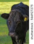 Small photo of A Black Aberdeen Angus Cow (Bos Taurus) at pasture in Florida with an Ear Tag Number 15