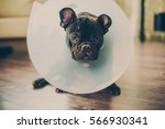 Stock photo french bulldog sick 566930341