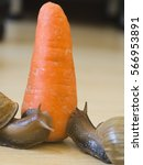 Small photo of Vegetarianism. Snails prefer a carrot. Achatina fulica