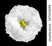 Natural Tender White Rose...