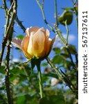 Stock photo yellow pink rose tropical rose garden 567137611