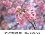 cherry blossoms close up. | Shutterstock . vector #567180721