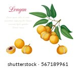 vector illustration of longan ... | Shutterstock .eps vector #567189961