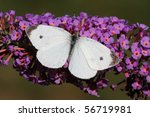 Cabbage White Butterfly  Pieri...