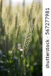 barley field | Shutterstock . vector #567277981