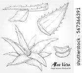 hand drawn illustration of aloe ... | Shutterstock .eps vector #567366391