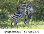 Two Zebra's Playing
