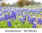 Texas Bluebonnet Wildflowers ...