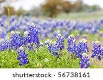 Texas Bluebonnet Wildflowers ...