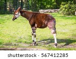 Okapi On Green Grass