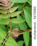 Small photo of Leaves of the invasive Tree of Heaven (Ailanthus altissima), also known as Stinking Sumac.