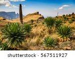 giant lobelia   simien... | Shutterstock . vector #567511927