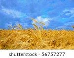 Wheat Crop On A Field In A...