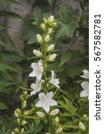 in the garden in bloom white... | Shutterstock . vector #567582781