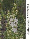 in the garden in bloom white... | Shutterstock . vector #567592231