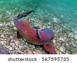 Small photo of Nurse shark with remora on its back feeding on a sandy bottom with sea grass off the coast of Ambergris Key, Belize