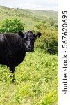 Cattle Grazing In Rough Pastur...