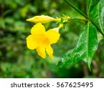 Small photo of Bush allamanda (Allamanda schottii) is a shrub of genus Allamanda in the family Apocynaceae, which is native to Brazil.