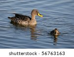 Mother Duck Watching Over Her...