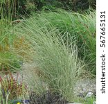 Ornamental Grasses Gently...