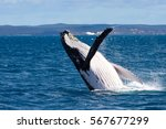 humpback whale breaching ... | Shutterstock . vector #567677299