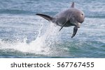 Bottlenose Dolphin Jumping In...