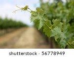 Closeup Of Grape Vine Leaves In ...