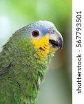 Small photo of Close-up portrait of The orange-winged amazon (Amazona amazonica) parrot