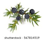 Juniper Branch With  Berries...