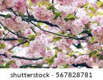 cherry blossoming | Shutterstock . vector #567828781