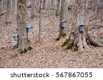 Pails And Taps Hang From Maple...