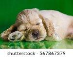 Stock photo puppy american cocker spaniel sleeps 567867379