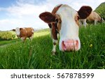 Stock photo cute cow looking interested into the camera 567878599