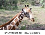 Giraffe Head In A Park In...