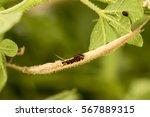 Asian Spider Flower  Stick Wee...