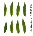 Small photo of Green Aloysia triphylla leafs isolated on white.
