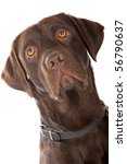 Head Of Chocolate Labrador...