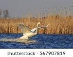 mute swan flutters on a blue... | Shutterstock . vector #567907819