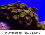 Small photo of Nice colored Actiniaria in sea aquarium