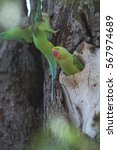 Small photo of Beautiful parrot Bird, Alexandrine Parakeet perched on a tree branch and breeding