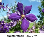 Clematis Viticella Flower In...