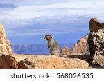 wild squirrel   grand canyon | Shutterstock . vector #568026535
