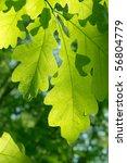Leaves  Tree  Oak