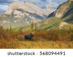A Bull Moose Wanders Through...