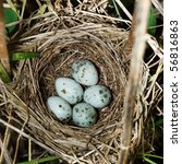 Small photo of Nest of a Marsh Warbler (Acrocephalus palustris) with eggs in the nature.