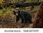 Wild Sloth Bear  Melursus...